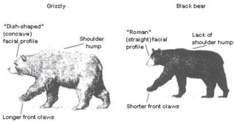 Glacier National Park Grizzly Bears Hiking With Grizzly Bears In - 32 bears decided try human