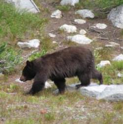 Glacier National Park grizzly bears | Hiking with grizzly bears in